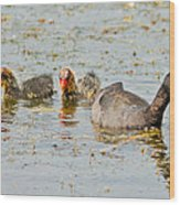 American Coot And Chicks Wood Print