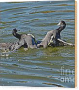 American Coots Fighting Wood Print