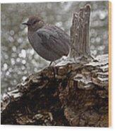 American Dipper   #7944 Wood Print