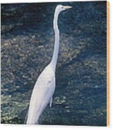 American Egret I Wood Print
