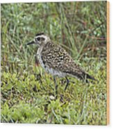 American Golden Plover Wood Print