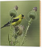 American Goldfinch Eating Thistle Seed Wood Print