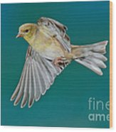 American Goldfinch Hen In Flight Wood Print