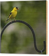American Goldfinch Perched On A Shepherds Hook Wood Print