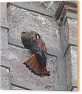 American Kestrel Perched On The Side Of A Building Wood Print