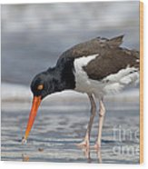 American Oystercatcher Feeding On Clam Wood Print