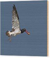 American Oystercatcher In Flight Wood Print