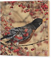 American Robin Eating Winter Berries Wood Print