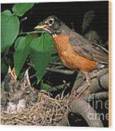 American Robin Feeding Its Young Wood Print