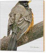 American Robin Male Animal Portrait Wood Print