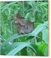 American Snout Butterfly Wood Print