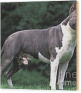 American Staffordshire Terrier Wood Print