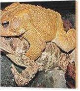 American Toads  Wood Print