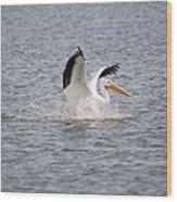 American White Pelican Landing 3 Wood Print