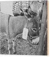 Amish Donkey At Action Wood Print