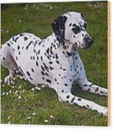 Among The Daisies. Kokkie. Dalmation Dog Wood Print