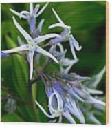 Amsonia Blue Stars Wood Print