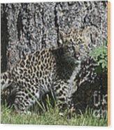 Amur Leopard Cub Antics Wood Print
