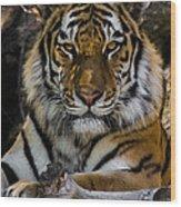 Amur Tiger Watching You Wood Print