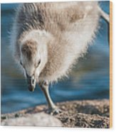 An Acrobatic Goose Wood Print