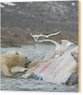 An Adult Polar Bear Ursus Maritimus Wood Print