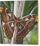 An Atlas Moth  Wood Print