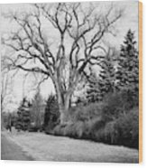An Elm Tree At The Side Of A Road Wood Print