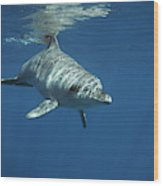 An Indo Pacific Bottlenose Dolphin Wood Print