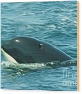 An Orca Surfaces  Wood Print