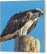 An Osprey Calling Wood Print