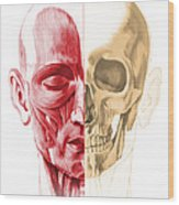 Anatomy Of A Male Human Head, With Half Wood Print