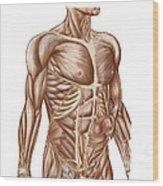 Anatomy Of Human Abdominal Muscles Wood Print