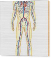 Anatomy Of Human Body And Circulatory Wood Print by Stocktrek Images