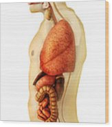 Anatomy Of Human Body Showing Whole Wood Print