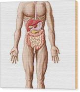 Anatomy Of Human Digestive System, Male Wood Print