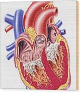 Anatomy Of Human Heart, Cross Section Wood Print