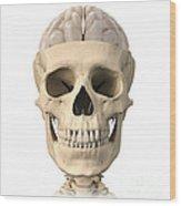 Anatomy Of Human Skull, Cutaway View Wood Print by Leonello Calvetti