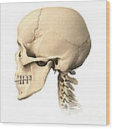 Anatomy Of Human Skull, Side View Wood Print