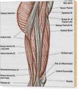 Anatomy Of Human Thigh Muscles Wood Print