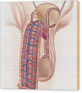 Anatomy Of Male Reproductive Organs Wood Print
