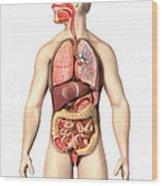 Anatomy Of Male Respiratory Wood Print