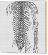 Anatomy: Spinal Nerves Wood Print