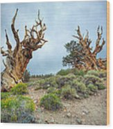 Ancient Bristlecone Pine Trees Wood Print