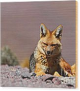 Andean Fox Portrait Wood Print