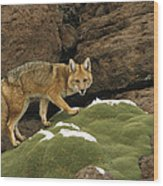 Andean Red Fox Altiplano Bolivia Wood Print