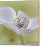 Anemone In White Wood Print