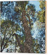 Angeles Sun -beautiful Tree With Sunburst In Angeles National Forest In The San Gabriel Mountails Wood Print