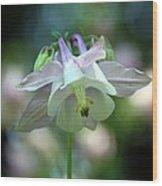 Angelic Aquilegia Wood Print