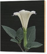 Angel's Trumpet Datura Wood Print by Angie Vogel