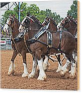 Anheuser Busch Budweiser Clydesdale Horses In Harness Usa Rodeo Wood Print
